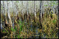 Bald cypress (Taxodium distichum). Everglades National Park, Florida, USA. (color)
