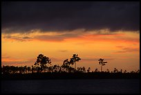 Stormy sunset and pine trees,  Pine Glades Lake. Everglades National Park, Florida, USA. (color)
