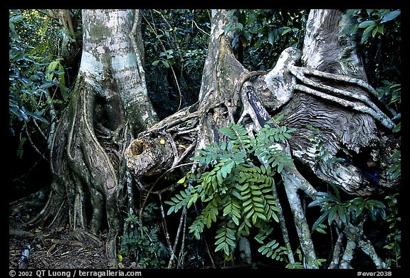 Strangler Fig (Ficus aurea) roots in tropical hardwood hammock. Everglades National Park (color)