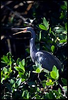 Tri-colored heron. Everglades National Park, Florida, USA. (color)