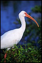 White Ibis. Everglades National Park, Florida, USA. (color)