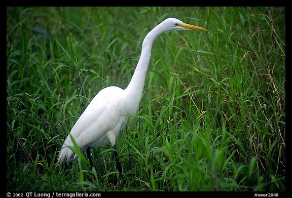 Great White Heron. Everglades National Park (color)