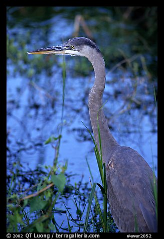 Blue heron. Everglades National Park (color)
