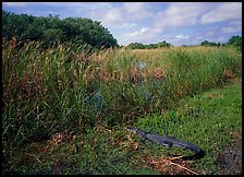 Alligator resting on grass near Eco Pond. Everglades National Park, Florida, USA.