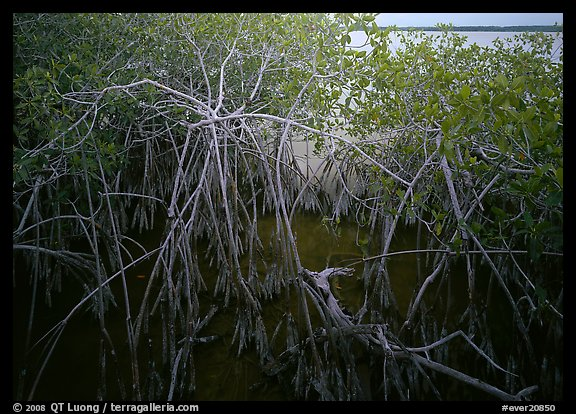Red mangroves on West Lake. Everglades  National Park (color)