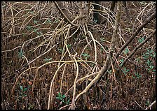Intricate root system of red mangroves. Everglades  National Park ( color)