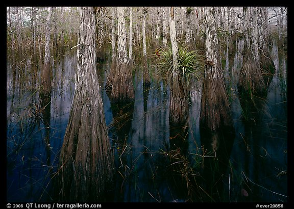 Cypress dome with trees growing out of dark swamp. Everglades National Park (color)