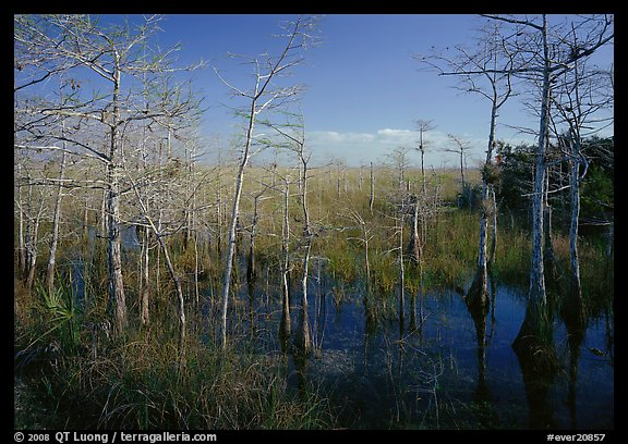 Cypress near Pa-hay-okee, morning. Everglades  National Park (color)