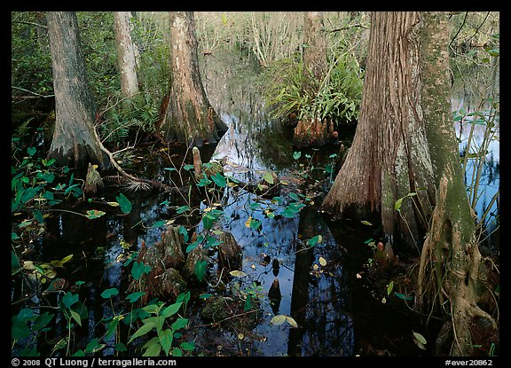Large bald cypress (Taxodium distichum) and cypress knees in dark swamp water. Everglades National Park (color)