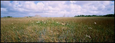 Marsh landscape with swamp lillies. Everglades  National Park (Panoramic color)