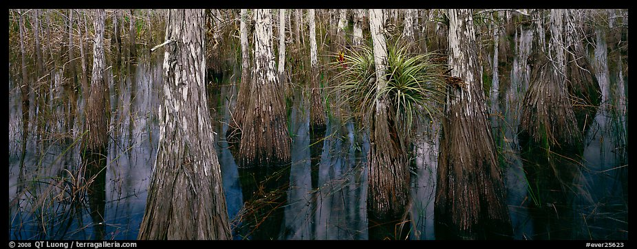 Bald cypress growing out of dark swamp water. Everglades National Park (color)