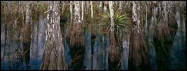 Bald cypress growing out of dark swamp water. Everglades National Park (Panoramic color)