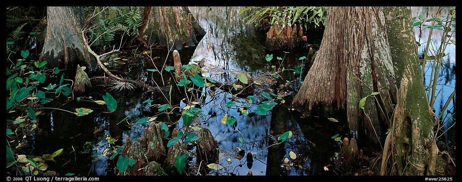 Large bald cypress roots and knees. Everglades National Park (color)
