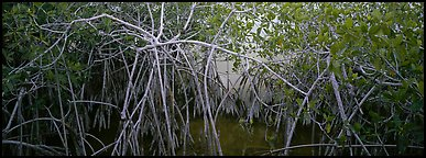 Mangrove landscape. Everglades National Park (Panoramic color)