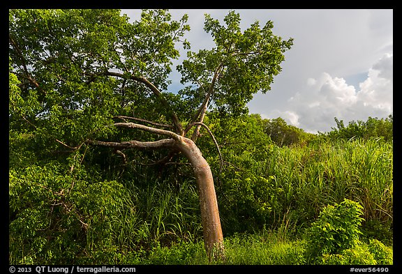 Gumbo limbo tree, Chekika. Everglades National Park (color)