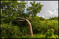 Gumbo limbo tree, Chekika. Everglades National Park, Florida, USA. (color)