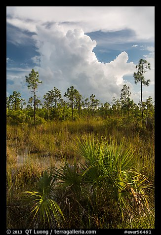 Palmetto, pines, and summer afternoon clouds. Everglades National Park (color)