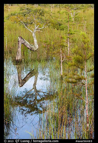 Old cypress shaped like letter Z. Everglades National Park (color)