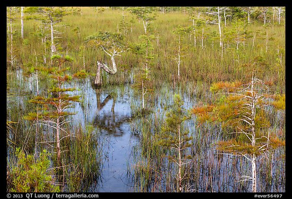 Dwarf cypress and N-shaped tree. Everglades National Park (color)