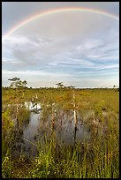 Rainbow over dwarf cypress grove. Everglades National Park, Florida, USA. (color)