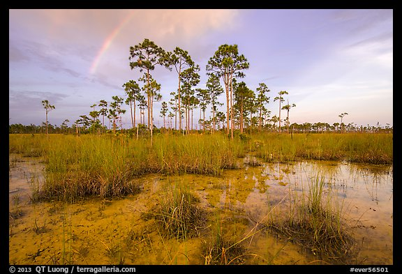 Pine trees and rainbow in summer. Everglades National Park (color)