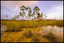 Pine trees and rainbow in summer. Everglades National Park, Florida, USA. (color)