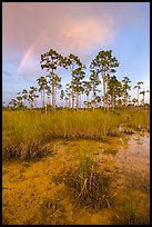 Pine trees and rainbow at sunset. Everglades National Park, Florida, USA. (color)
