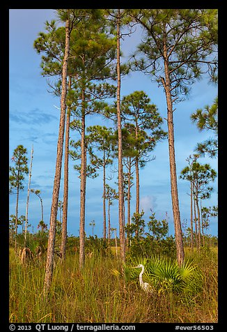 Great white heron amongst pine trees. Everglades National Park (color)