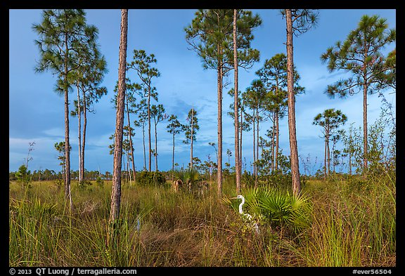 Pinelands with great white heron. Everglades National Park (color)