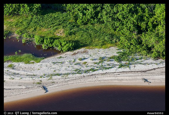 Aerial view of two alligators sunning on beach. Everglades National Park (color)