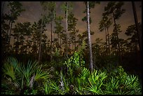 Palmeto and pines at night. Everglades National Park, Florida, USA. (color)