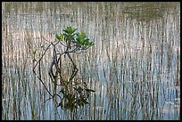 Needle rush and dwarfed mangrove. Everglades National Park, Florida, USA. (color)