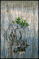 Dwarf red mangrove with needle rush. Everglades National Park ( color)