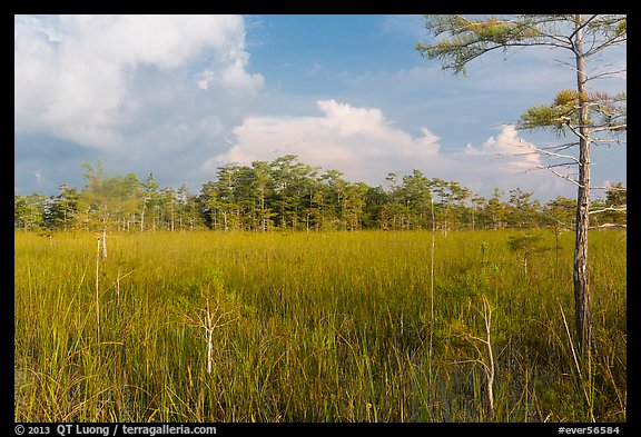 Sawgrass and cypress dome in summer. Everglades National Park (color)