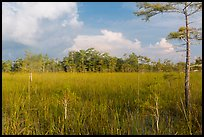Sawgrass and cypress dome in summer. Everglades National Park, Florida, USA. (color)