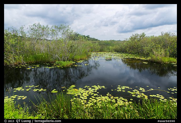 Freshwater slough in summer. Everglades National Park (color)