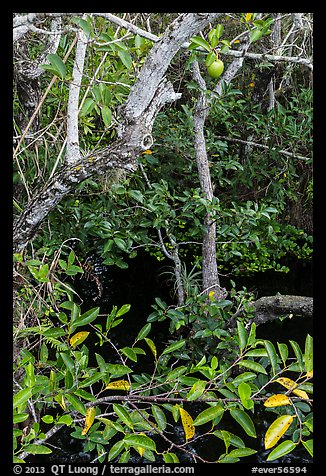 Alligator Apple (Annoma Glabra) tree and fruits. Everglades National Park (color)