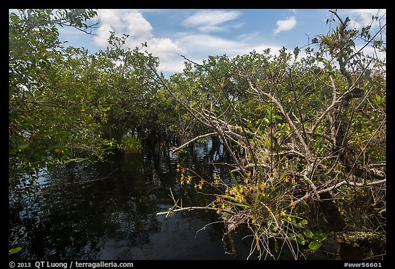 Native Florida orchid and Pond Apple growing in water. Everglades National Park (color)