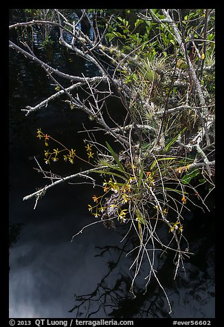 Native Butterfly Orchid (Encyclia tampensis) growing in marsh. Everglades National Park (color)