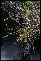 Native Butterfly Orchid (Encyclia tampensis) growing in marsh. Everglades National Park ( color)