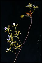 Close-up of Encyclia tampensis branch with orchid flowers. Everglades National Park ( color)