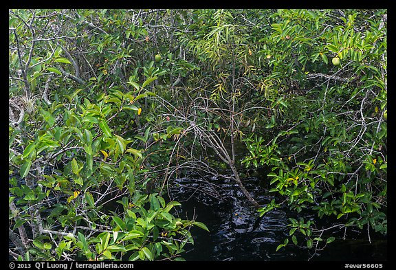 Pond Apple with fruits growing in marsh. Everglades National Park (color)