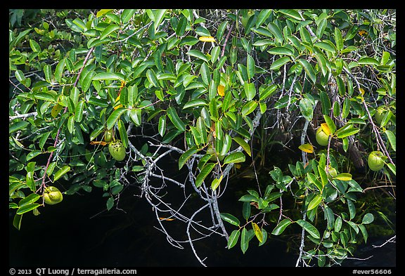 Pond Apple (Annoma Glabra) with fruits. Everglades National Park (color)