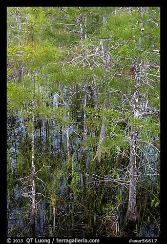Cypress with green needles. Everglades National Park (color)