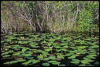 Water lillies and thicket, Shark Valley. Everglades National Park ( color)