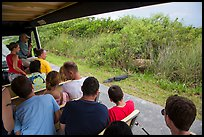 Tourists look at alligator from tram, Shark Valley. Everglades National Park ( color)