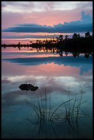 Reeds and pine trees at sunset, Pines Glades Lake. Everglades National Park ( color)