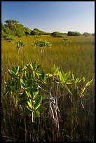 Dwarfed red mangroves and sawgrass. Everglades National Park ( color)