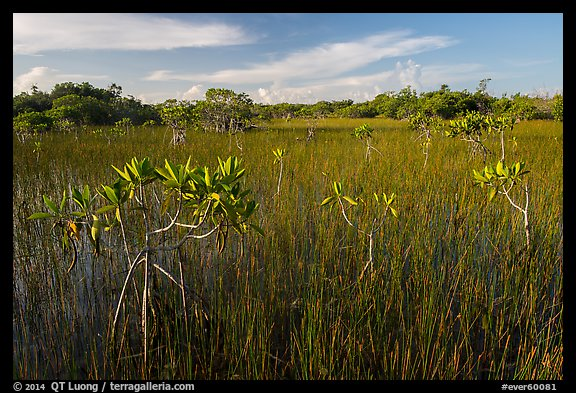 Dwarfed red mangroves in summer. Everglades National Park (color)
