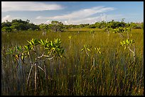 Dwarfed red mangroves in summer. Everglades National Park ( color)